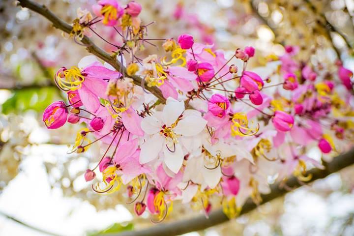 ดอกกาลพฤกษ์ ดอกไม้ประจำมหาวิทยาลัยขอนแก่น