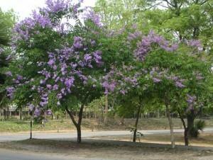 ต้นไม้ประจำมหาวิทยาลัย