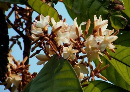 ต้นไม้และดอกไม้ประจำมหาวิทยาลัยราชภัฏยะลา