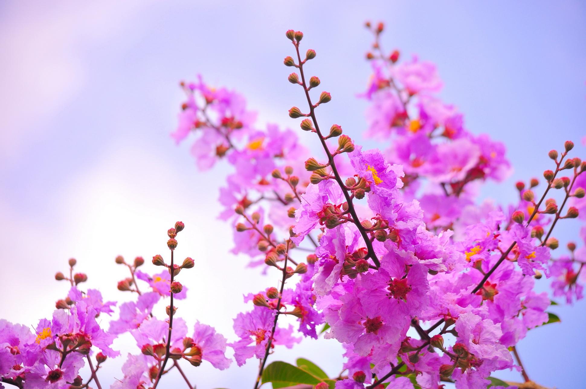 ดอกตะแบก