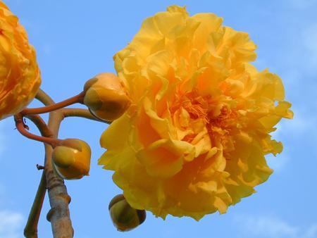 ดอกสุพรรณิการ์ (ฝ้ายคำ)