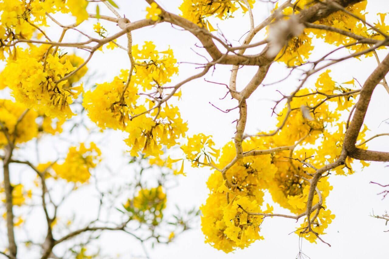 เหลืองอร่าม บานสะพรั่ง! ดอกปรีดียาธร+ราชพฤกษ์ ที่ มศว. องครักษ์ (1)