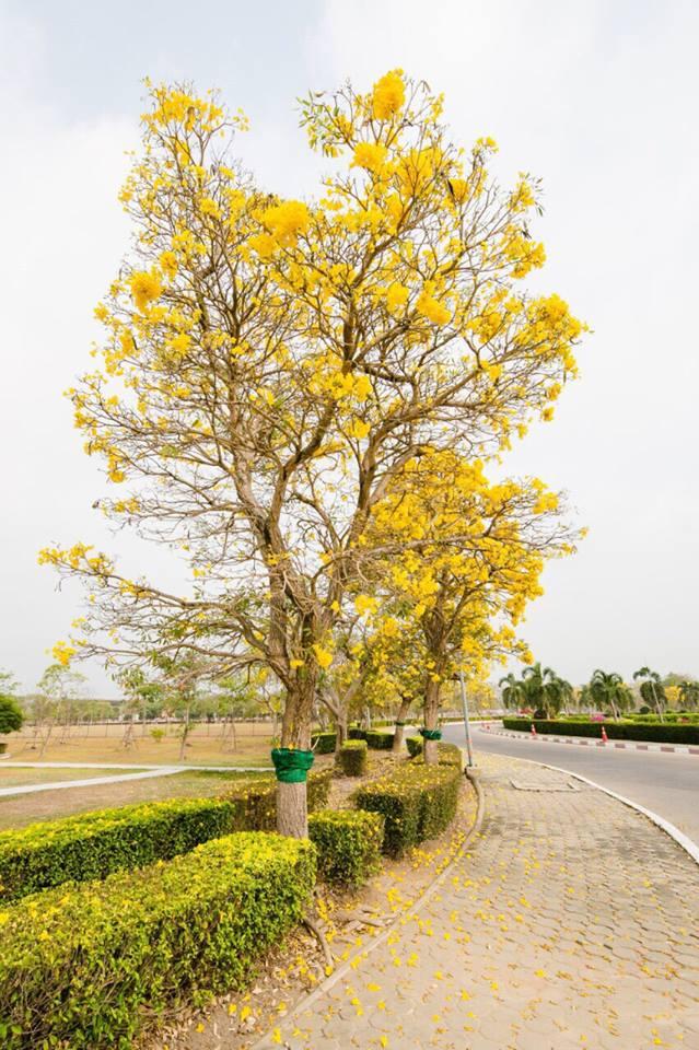 เหลืองอร่าม บานสะพรั่ง! ดอกปรีดียาธร+ราชพฤกษ์ ที่ มศว. องครักษ์ (11)