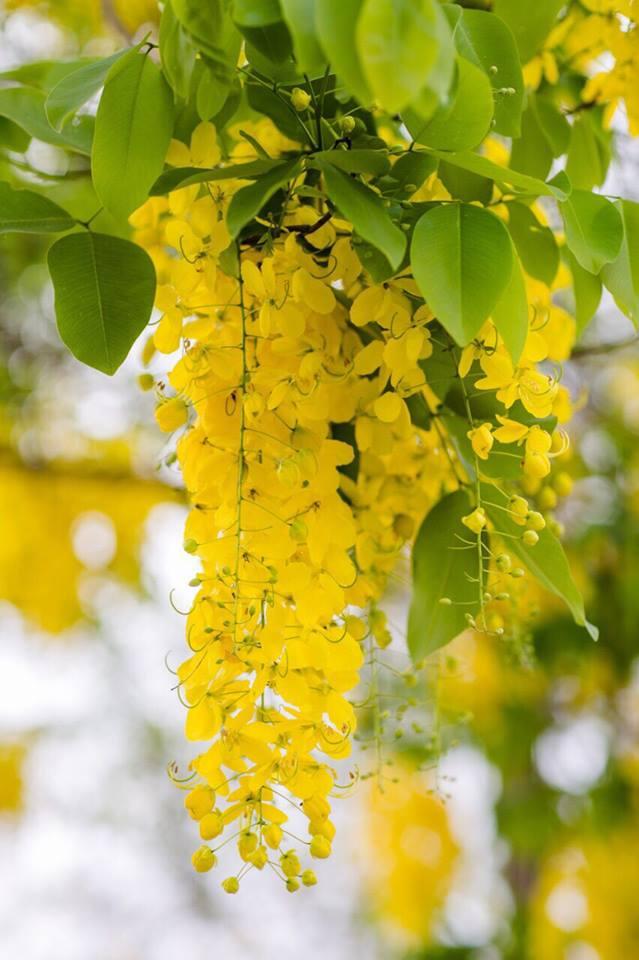เหลืองอร่าม บานสะพรั่ง! ดอกปรีดียาธร+ราชพฤกษ์ ที่ มศว. องครักษ์ (12)