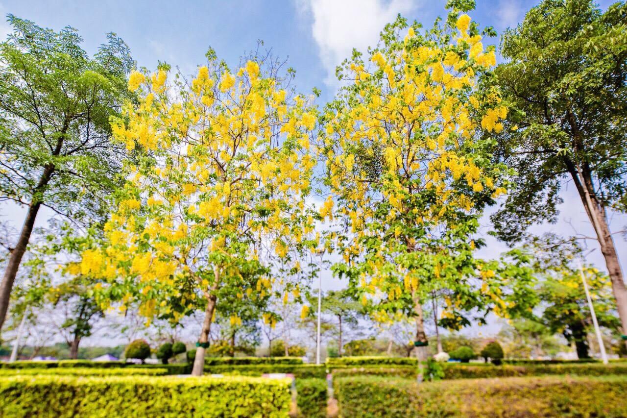 เหลืองอร่าม บานสะพรั่ง! ดอกปรีดียาธร+ราชพฤกษ์ ที่ มศว. องครักษ์ (3)