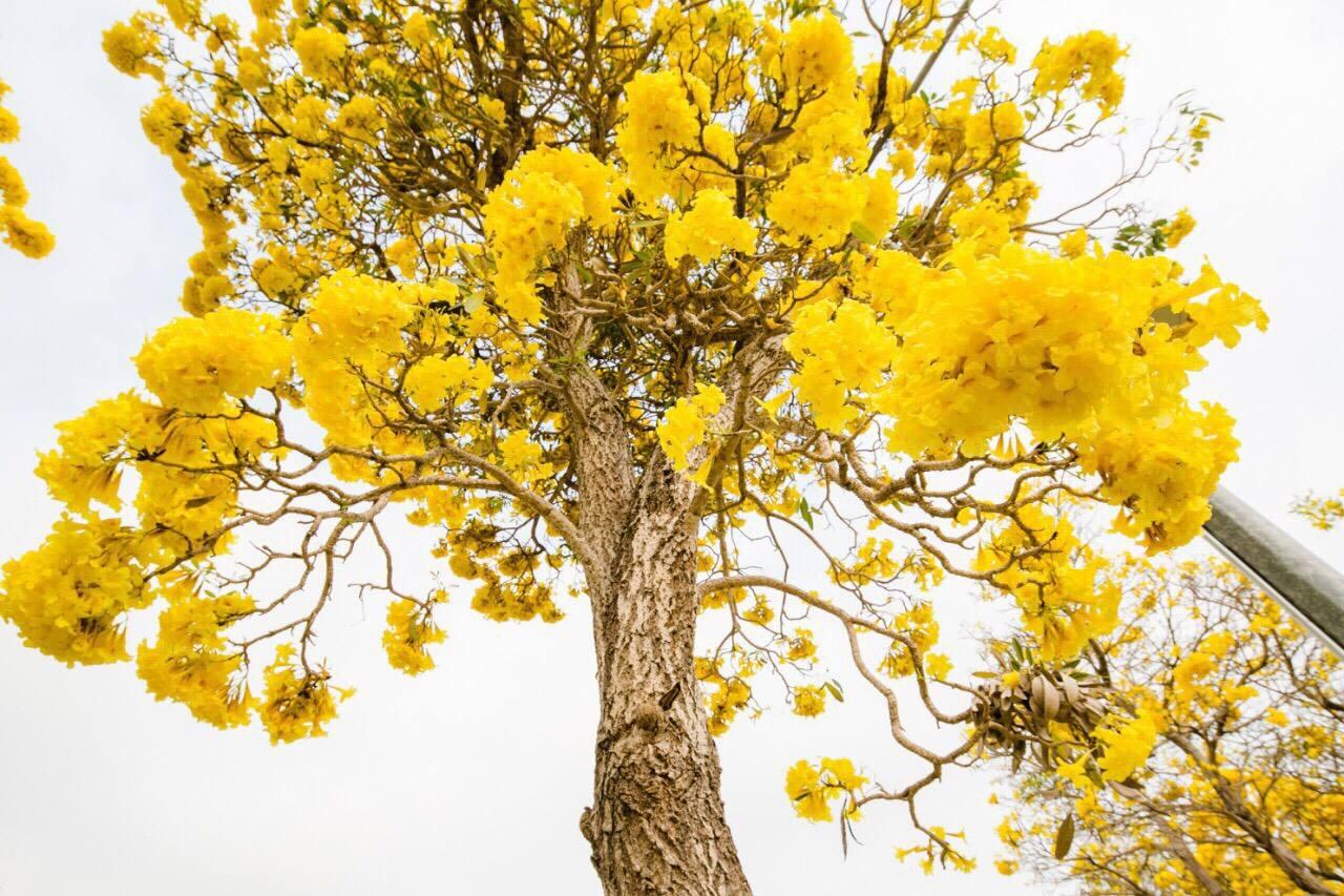 เหลืองอร่าม บานสะพรั่ง! ดอกปรีดียาธร+ราชพฤกษ์ ที่ มศว. องครักษ์ (4)