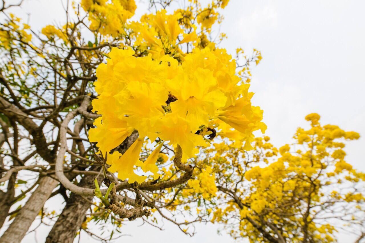 เหลืองอร่าม บานสะพรั่ง! ดอกปรีดียาธร+ราชพฤกษ์ ที่ มศว. องครักษ์ (6)