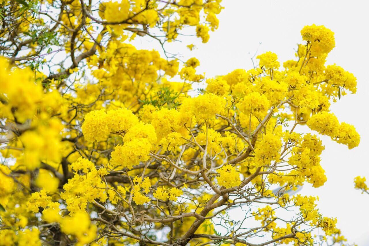 เหลืองอร่าม บานสะพรั่ง! ดอกปรีดียาธร+ราชพฤกษ์ ที่ มศว. องครักษ์ (8)