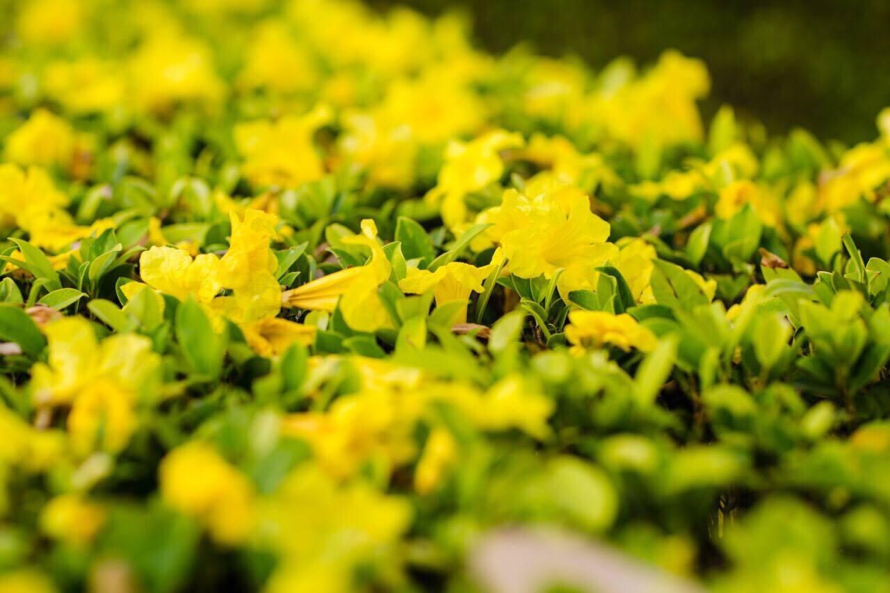 เหลืองอร่าม บานสะพรั่ง! ดอกปรีดียาธร+ราชพฤกษ์ ที่ มศว. องครักษ์ (9)