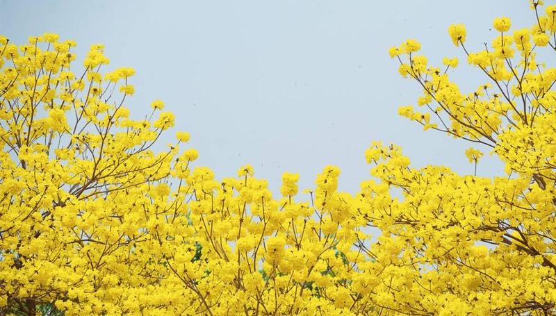 ดอกเหลืองอินเดีย ดอกไม้ แม่ฟ้าหลวง
