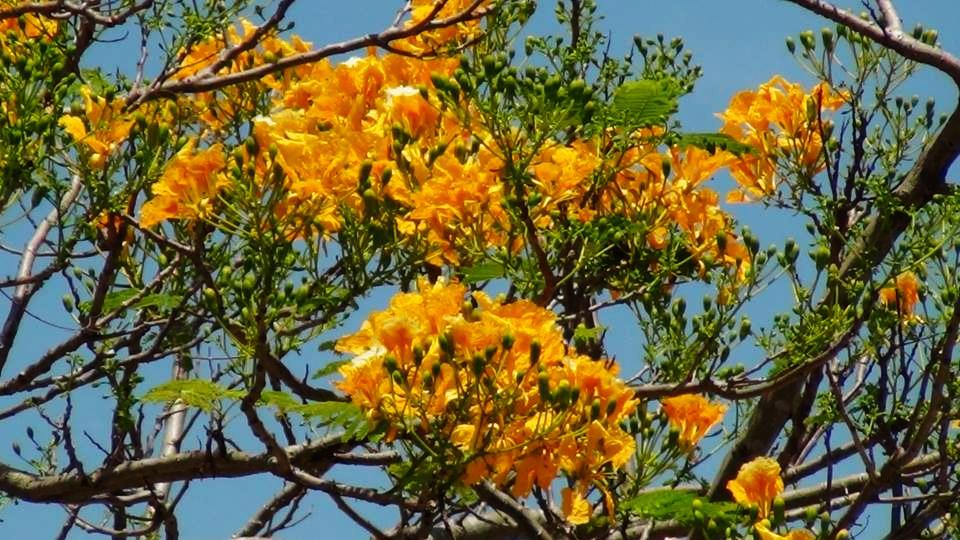 ต้นหางนกยูงฝรั่งสีเหลือง