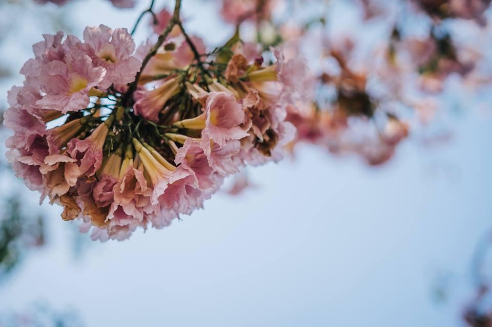 ชมพูพันธุ์ทิพย์ ดอกไม้บาน ม.เกษตร เกษตรศาสตร์ กำแพงแสน เหลืองปรีดียาธร