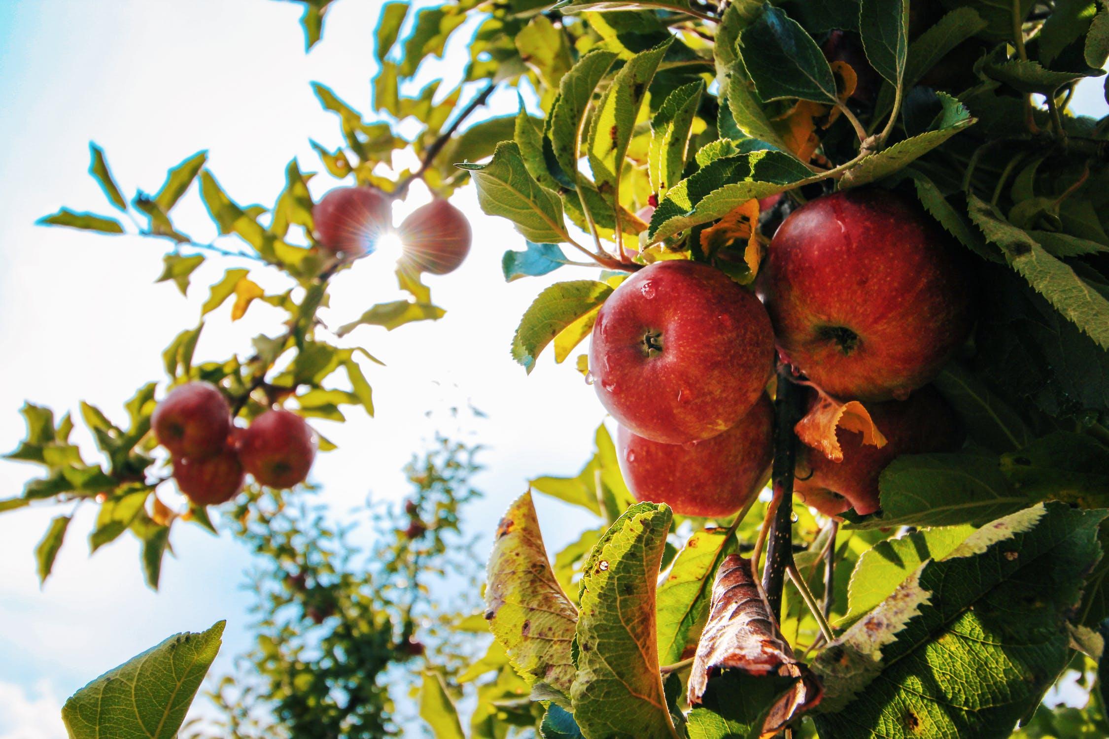 apple = แอปเปิ้ล
