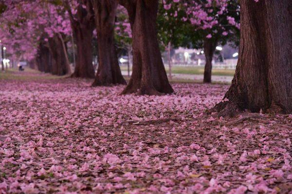 ดอกชมพูพันทิพย์ หรือ ซากุระเมืองไทย