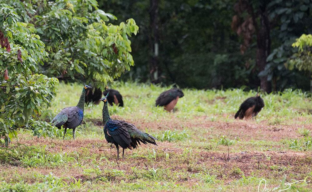 นกยูงไทย หรือนกยูงเขียว (green peafowl)